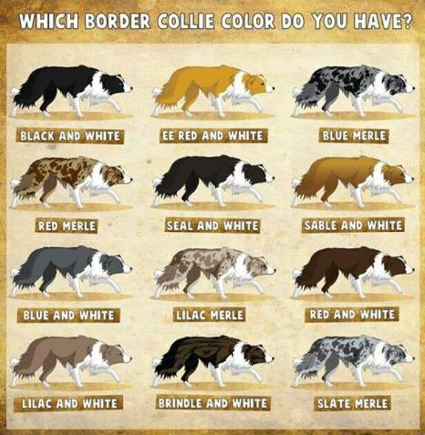Coat Varieties Of The Border Collie. Which Is Your Favorite Color? (The  Australian Shepherd Has Similar Coat Varieties.