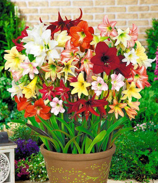 Winterharde tuin Amaryllis 'kleurenmix'