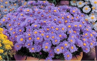 Aster Wood's Blue - 'Wood's Blue' is an excellent dwarf perennial for borders and small gardens. Dense, mounding plants have attractive, fine textured foliage. Dainty bluish-purple yellow centered daisy-like flowers bloom in summer continuing well into fall. Follow a regular watering schedule during the first growing season to establish a deep, extensive root system. For a neat appearance, remove old foliage before new leaves emerge. Divide clumps every 2 to 3 years in early spring.