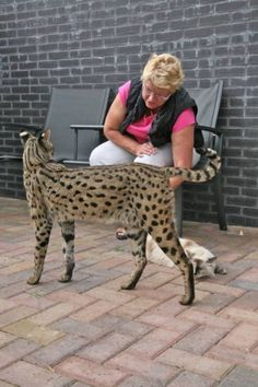 savannah cats - Google Search