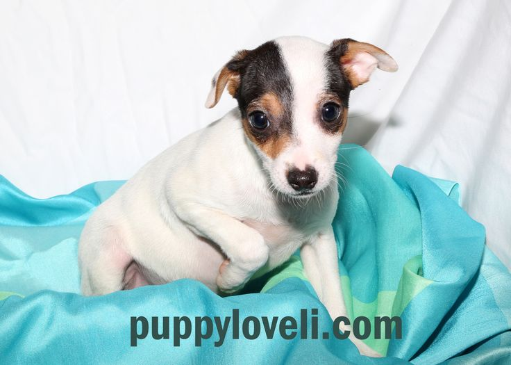 Jack Russell for sale on Long Island