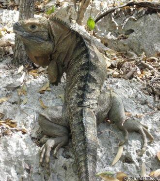 """Predadores e destruição do habitat põem em risco a espécie de iguana da Jamaica (""""Cyclura collei"""")"""