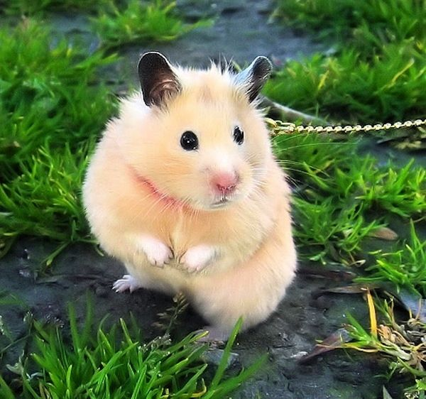 This hamster | What Is The Best Animal On A Leash?