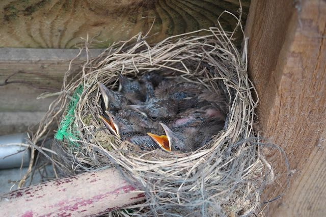 HAVEHJERNEN Nest of Blackbird