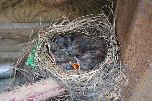 HAVEHJERNEN Nest of Blackbird