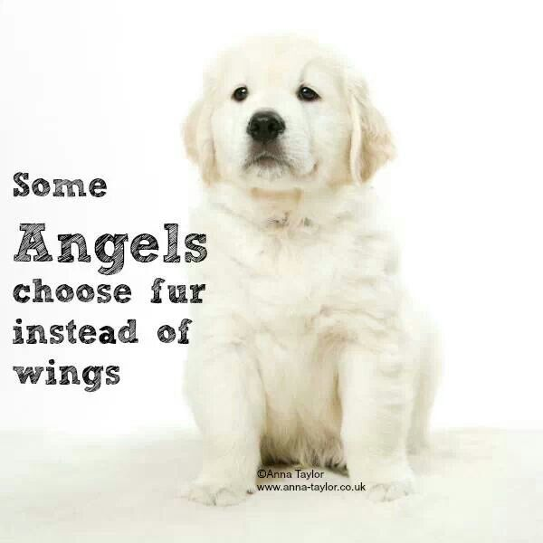 Dog Angel Quotes: 91 Best Images About **WHITE GOLDEN RETRIEVER** On