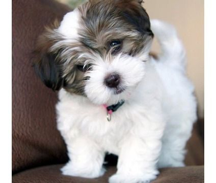 My little Bernie looked just like this as a puppy #havanese                                                                                                                                                                                 More