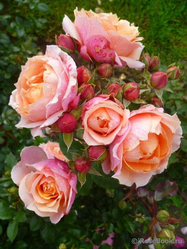 "Rose "" Paul Bocuse ® "" , (MASpaujeu) , bred by Dominique Massad (France, 1992)"
