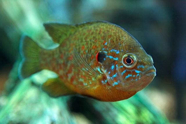 40 best puffer fish images on pinterest animals ocean for Shell cracker fish