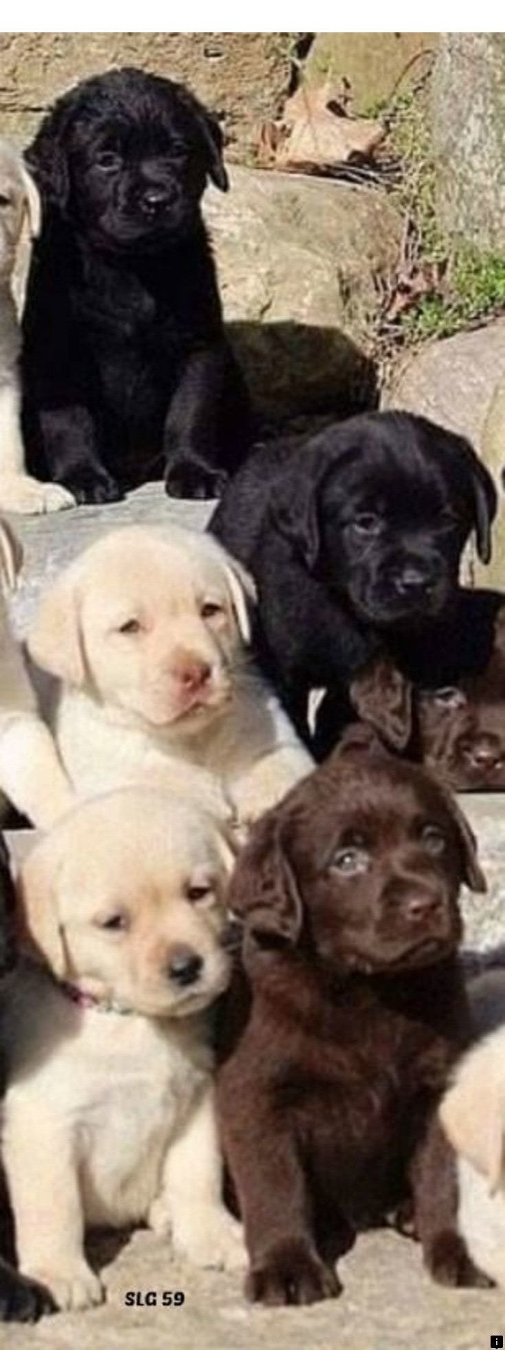 ^^Read more about border collie puppy. Simply click here for more info Viewing t…   – Awesome Labrador Retriever Puppies