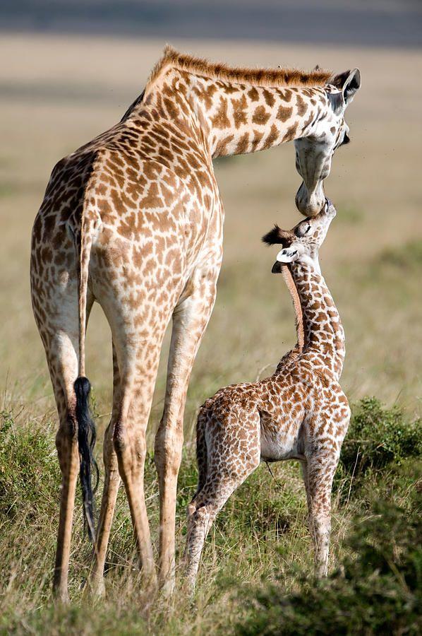 Masai Giraffe Giraffa Camelopardalis Photograph by Panoramic Images