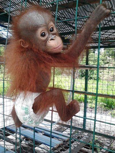Adorable baby orangutan in her little diaper.