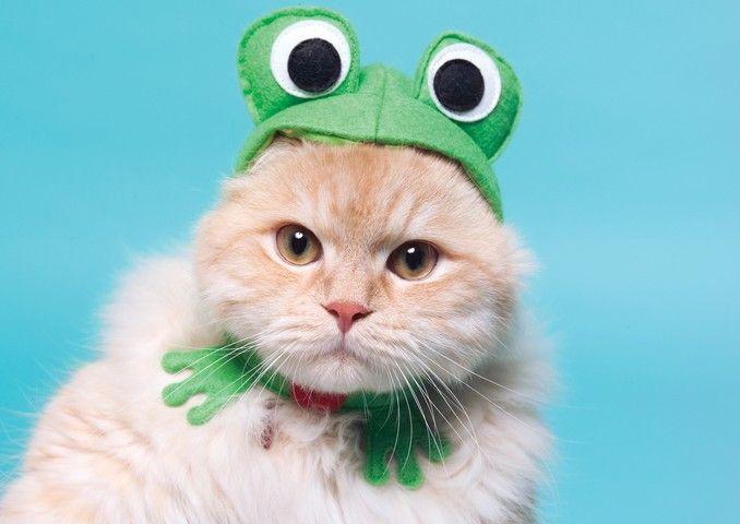 Gato con disfraz de rana