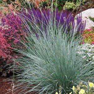 blue oat grass  - drought tolerant - Sunset