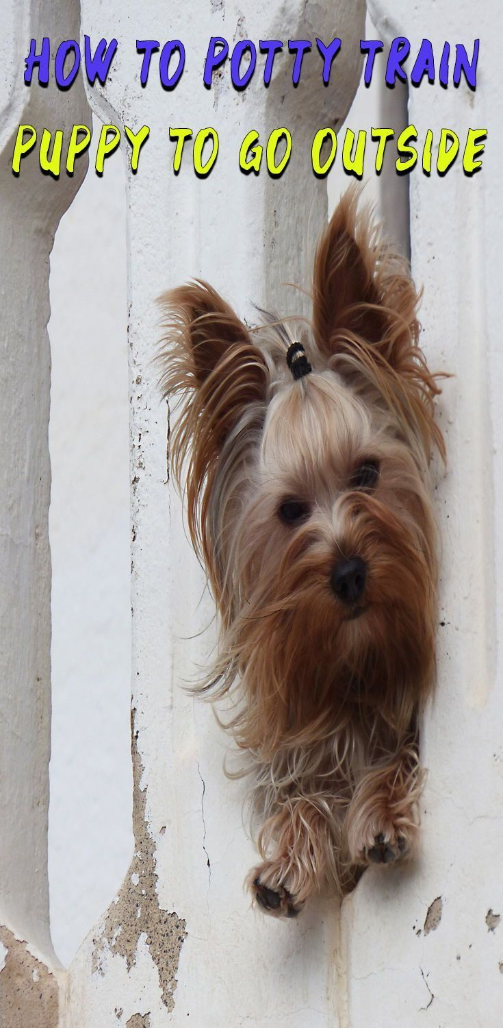 Best Way To Potty Train A Puppy Like A Pro Yorkshire Terrier