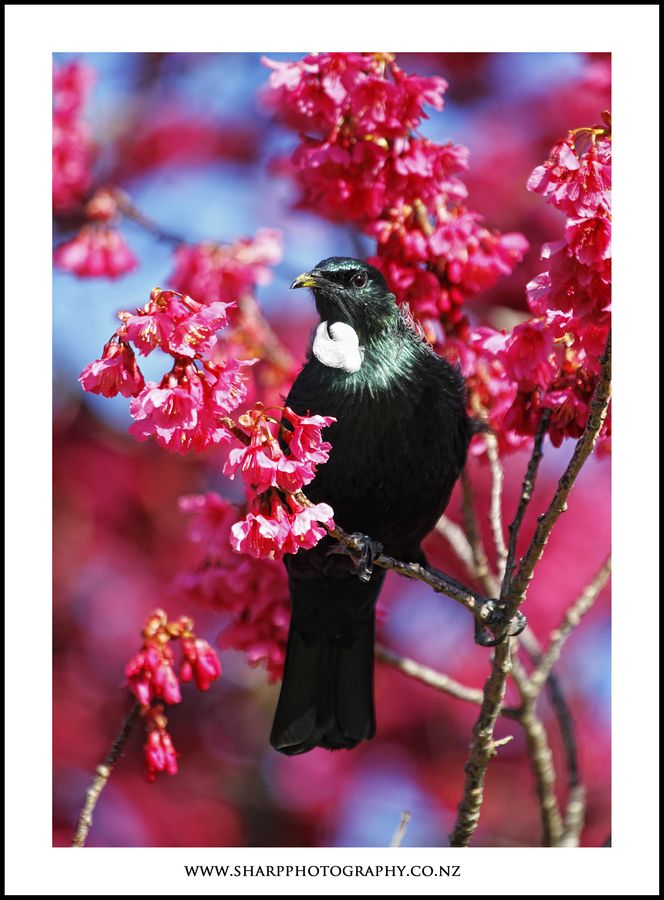 Tui are just beautiful especially when they are drinking nectar from these trees this time of year.