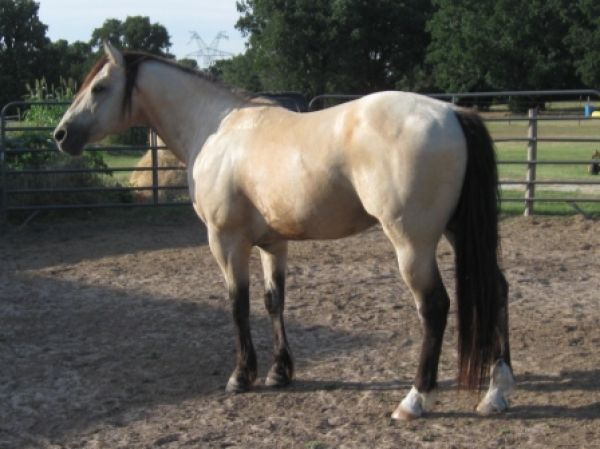quarter horse buckskin - photo #4