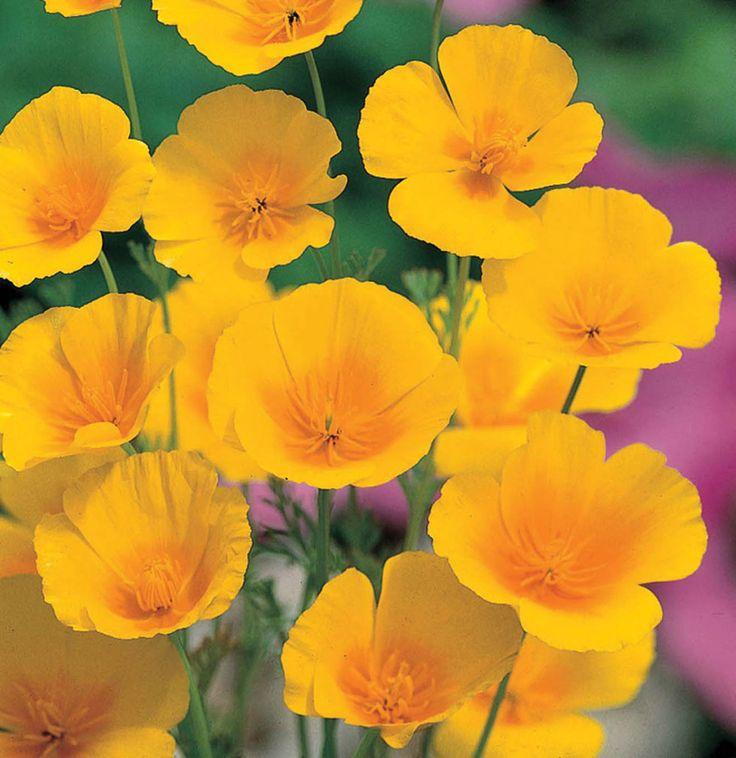Californian Poppy Golden Values