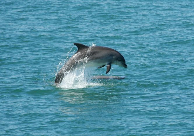 one of the Cardigan Bay 127 dolphins that swim the West coast of Wales.