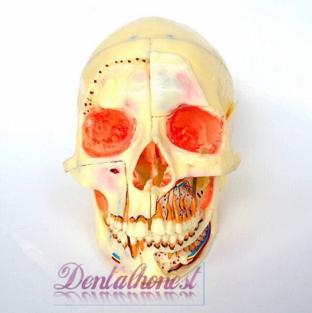 313.99$  Buy now - http://ali99f.worldwells.pw/go.php?t=32384081286 - Dental Model #5004 01 - Detachable Pro Skull Model with Red Eyes 313.99$