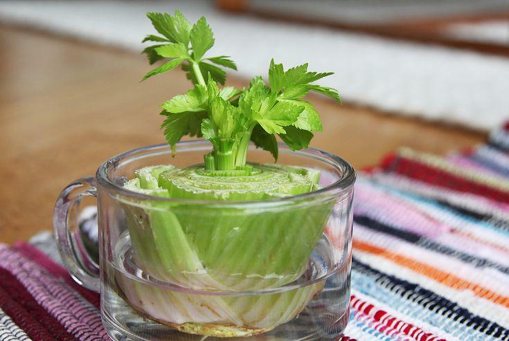 Regrow Celery in Clear Mug