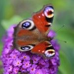 Shrubs to attract butterflies: Growing buddlejas It's been an amazing summer for butterflies here in England. Warm weather and plentiful nectar from summer flowers has brought them into gardens to feed. Buddlejas are known as one of the most attractive flowering shrubs to butterflies. The richly fragrant flowers are long...