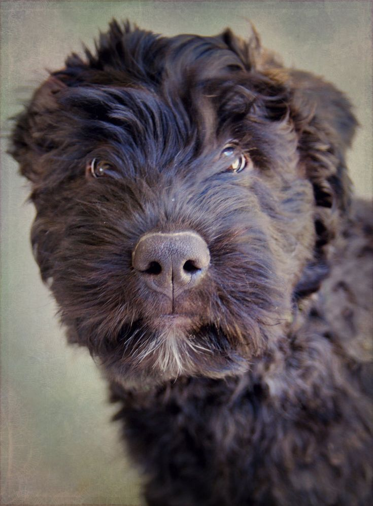 -Omg, I seriously want another...someone get me one??? Bouvier des Flandres Puppy by *Feeferlump on deviantART