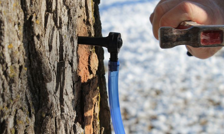 Maple Tree Tapping Kit. Tap Ten Trees with this Simple Kit. Make your own Maple Syrup!
