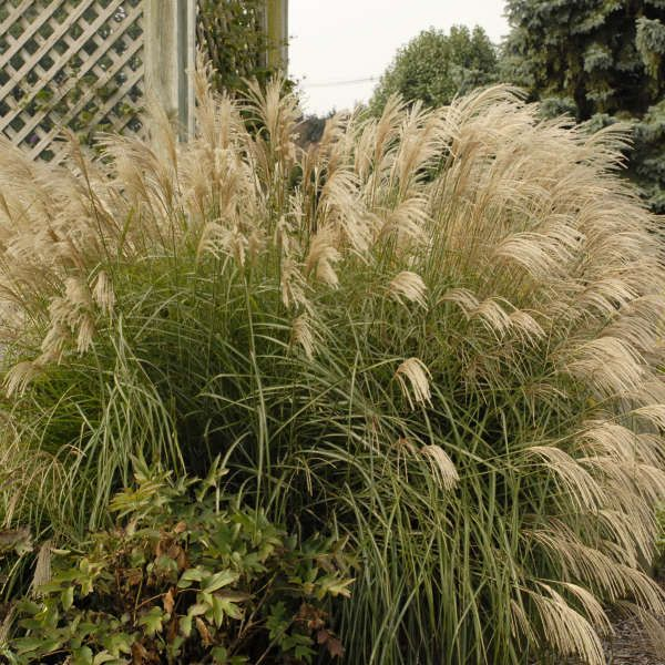 Miscanthus Sinensis Graziella Perennial Resource Ornamental Grasses Grass Border Plants