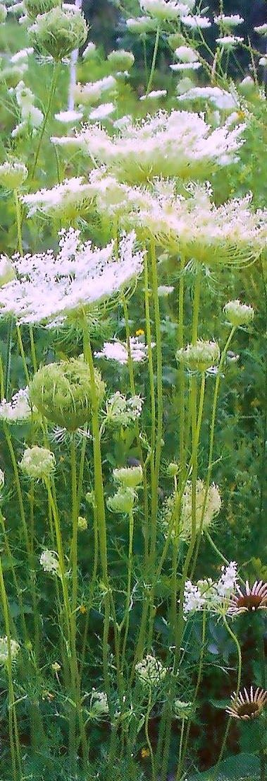 Cottage Garden Style | Dreaming Gardens.. Queen Anne's lace.