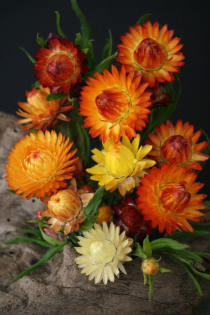 Helichrysum Everlastings, also called strawflowers, are unique multi-colored annual flowers.