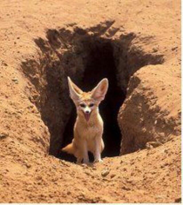 Desert Fox Desert animals, Fennec fox, Fox habitat