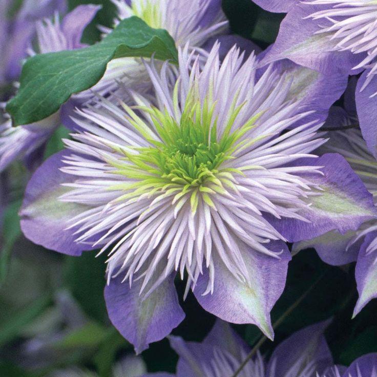 clematis from van meuwen experts in the garden since