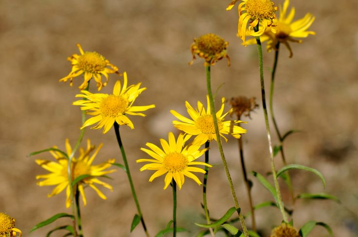 Buphthalmum salicifolium (Lysøye)