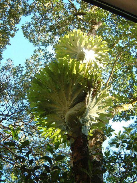 Staghorn ferns