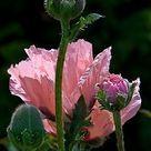 Prachtige roze papaver