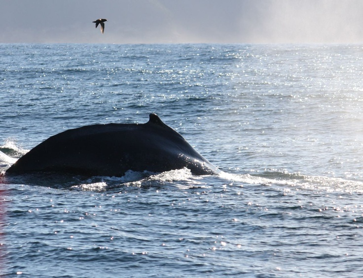 Humpback and Souther Right Whales are best seen during late Oct to Mid Dec and during May/June/July in Adventure Bay Bruny Island. They can be seen if you are lucky from many of the lookouts in the region....