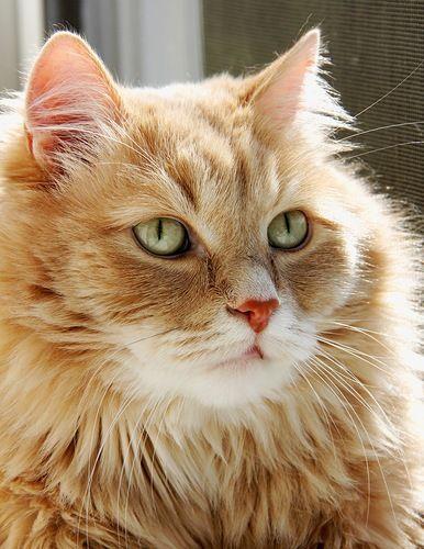 """El primer ancestro del gato moderno vivió hace unos 30 millones de años. Los científicos lo llamaron Proailurus, que significa """"primer gato"""" en griego."""