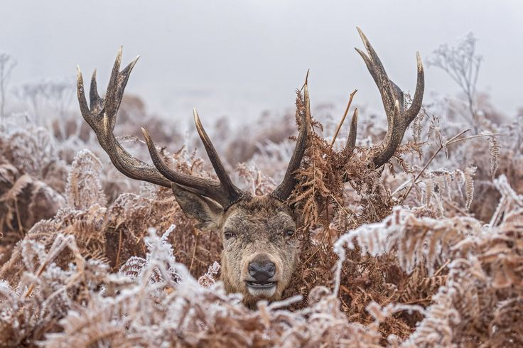 This frosty stag is just as sick of the cold weather as us humans.  The deer looks more than a little wintry as he pops his head up from a mass of bracken, in a scene that wouldn't look out of place on a Christmas card.