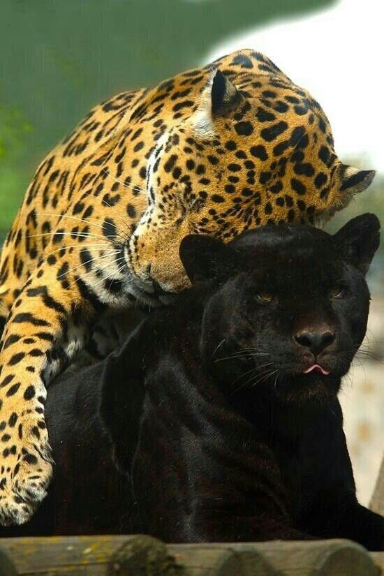 Leopard cuddling a black leopard | Awesome Animals ... - photo#19