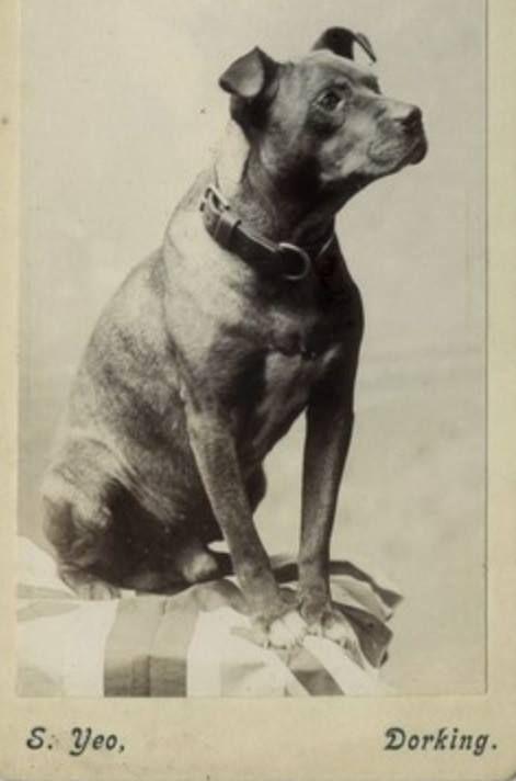 Vintage American Pitbull Terrier  |American Pit Bull Terrier Vintage