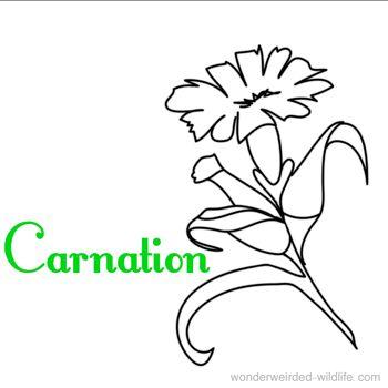 The 25+ best Carnation colors ideas on Pinterest   Carnation ...
