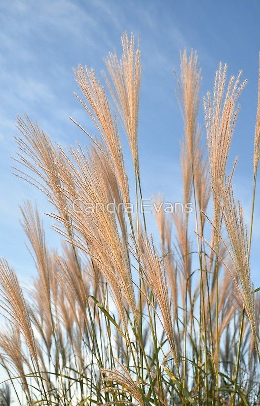 Tall Grass And Blue Sky Blue Sky Background Clear Blue