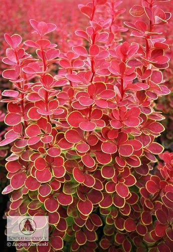 Look out for Berberis thunbergii 'Orange Sunrise' it's a real stunner as you can see!