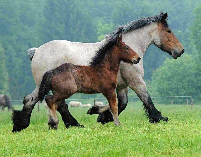 Brabant, Belgian Heavy Draft Horse, mare Martine and foal. photo: Ton van der Weeden.
