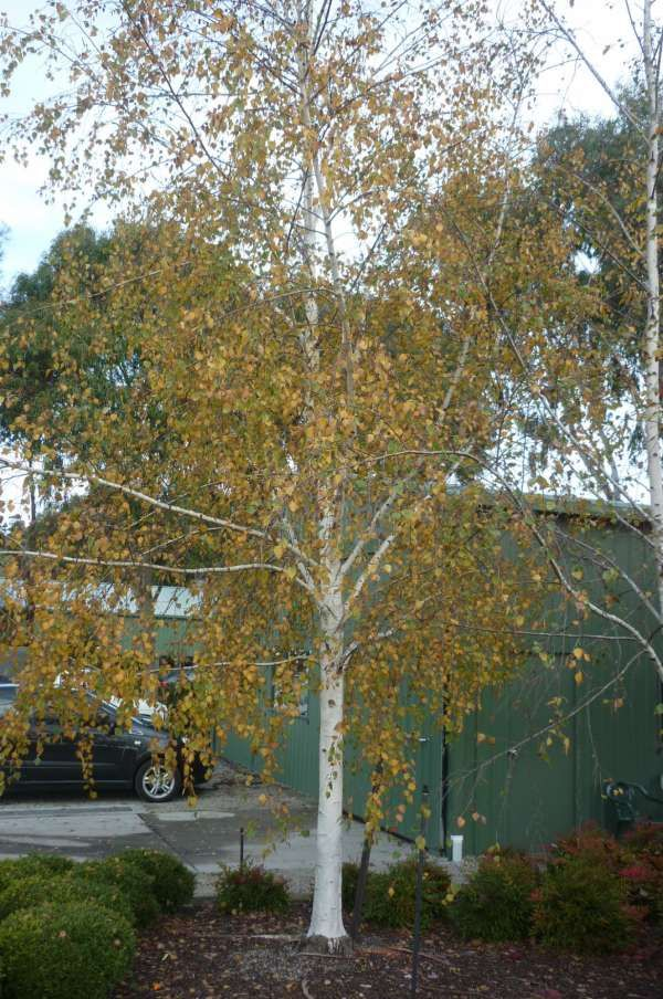 Betula pendula 'Moss White' — Warners Nurseries