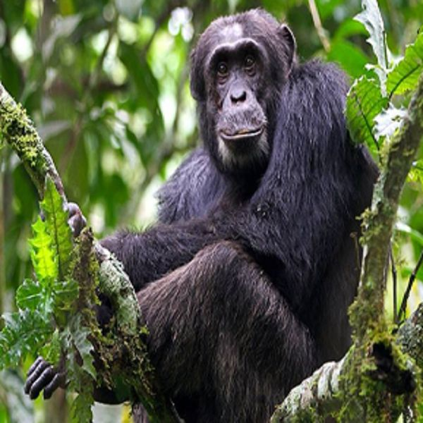 Get up close and personal with #Uganda most famous Safaris: #ChimpanzeeTracking and #GorillaTracking. http://safaridmc.com/uganda/#1457623238358-e1447f63-0c83
