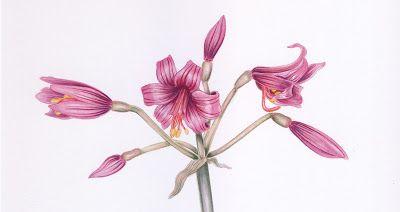 Mi Naturalismo / Placea amoena #botanicalart #Chile #flower #watercolor