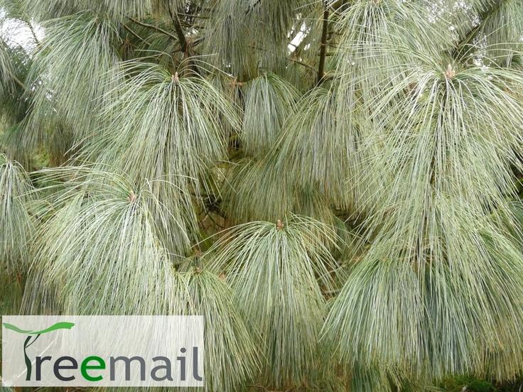 Himalájai selyemfenyő - Pinus wallichiana