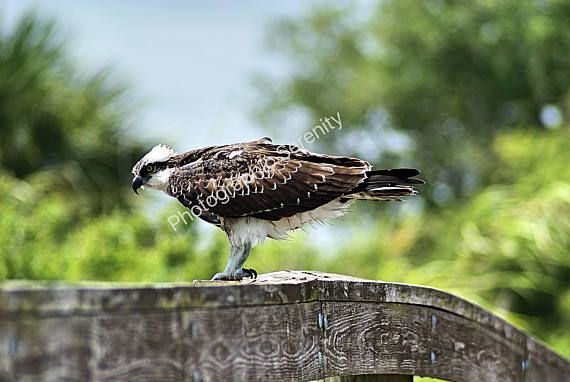 An Osprey, also referred to as a Fish Hawk. Taken at Lake Okeechobee. Width-3872 / Height-2178 You are purchasing a digital photograph. Due to the purchase being an instant download, there are no refunds. Colors may vary slightly depending on the phone, computer or printer used. This photo is for your use only. NO SELLING of this image in any form. This is a digital download. You will not receive this photo in the mail. JPG format, with watermark removed.